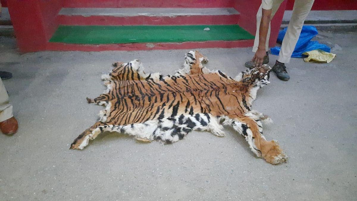 बाघ की खाल के साथ एक तस्कर गिरफ्तार