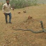 कोरबा : अब तक का विशालकाय किंग कोबरा का किया गया सफल रेस्क्यू, डीएफओ प्रियंका पाण्डेय रही मौजूद