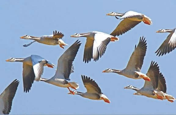 प्रवासी राजहंस पक्षी लौटे स्वदेश