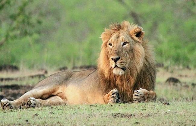 हैदराबाद के नेहरू जूलॉजिकल पार्क के आठ एशियाई शेर कोरोना संक्रमित