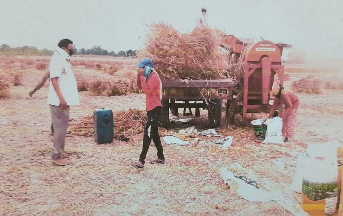 फसल की मड़ाई में चुस्त कपड़े पहने किसान, कारोना गाइड लाइन का करें पालन