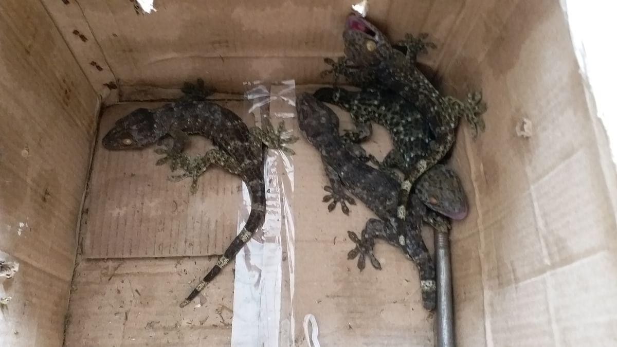 दुर्लभ प्रजाति की केगो छिपकली समेत दो तस्कर गिरफ्तार
