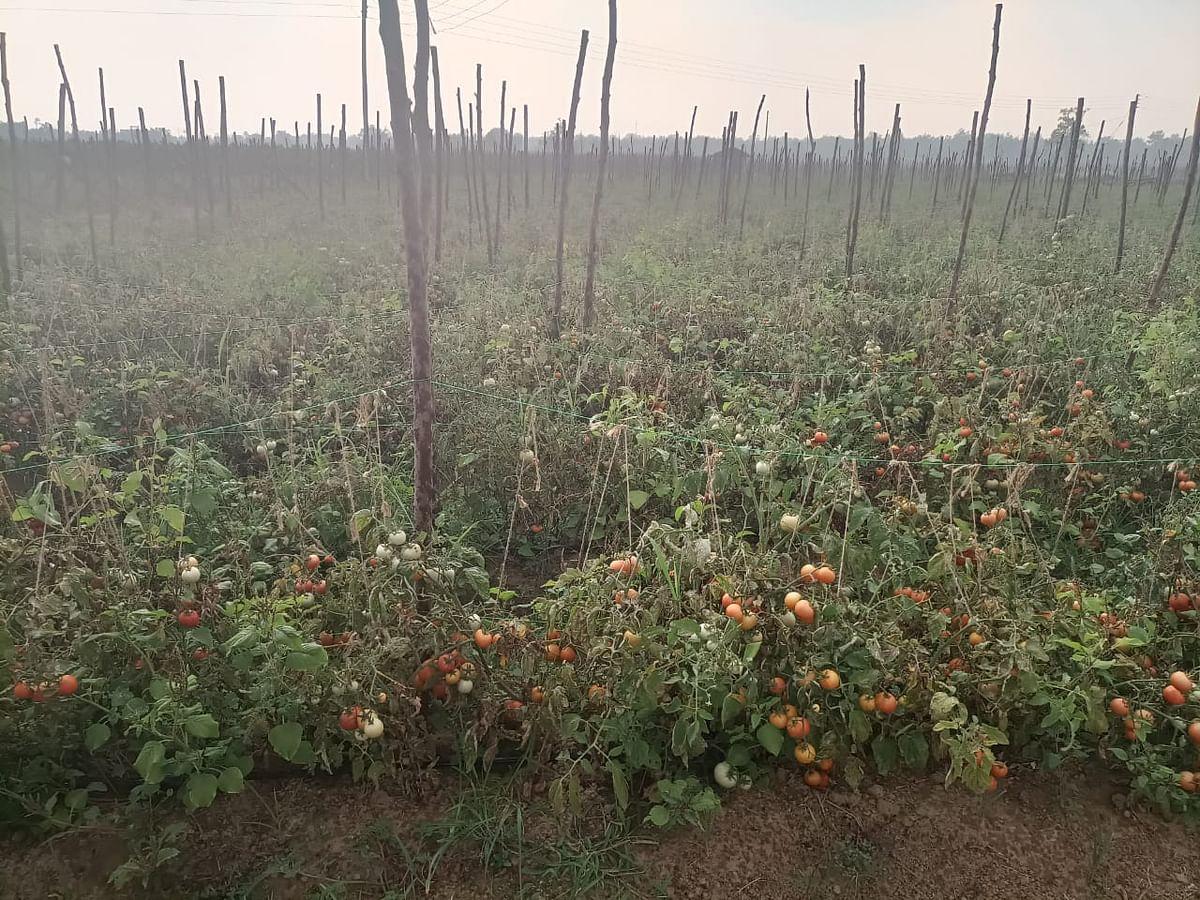 कोंडागांव  : लॉकडाउन में सब्जी नही बेच पा रहे किसानों को अब सता रही  कर्ज पटाने की चिंता