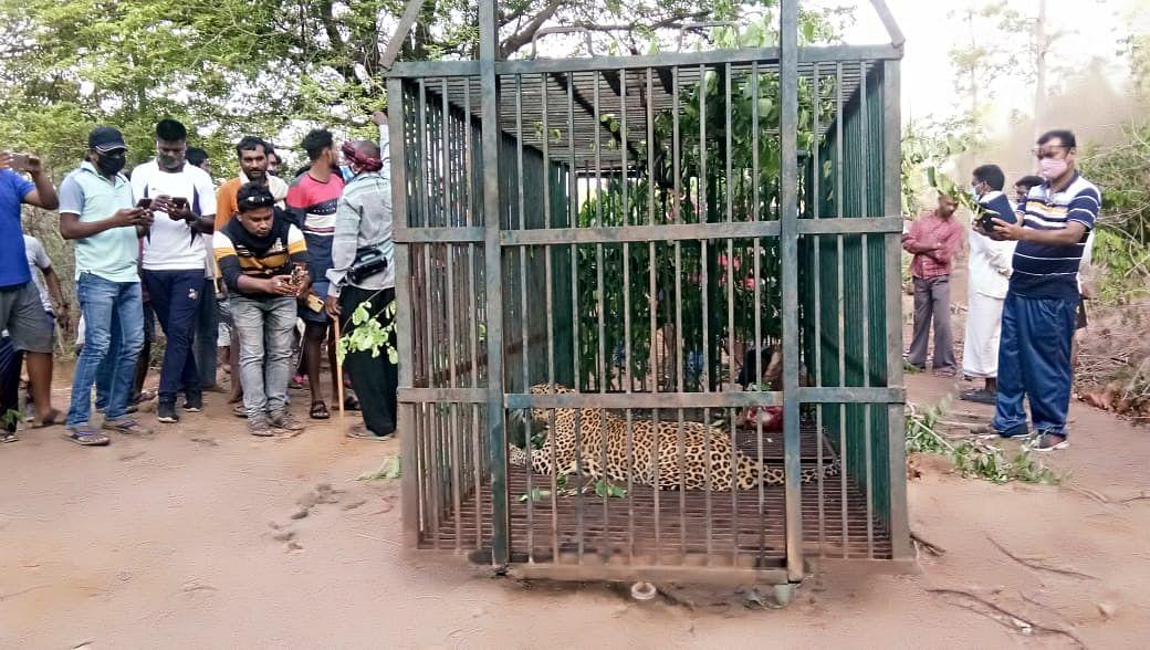 धमतरी : मादा तेंदुआ पिंजड़े में कैद, ग्रामीणों ने ली राहत की सांस