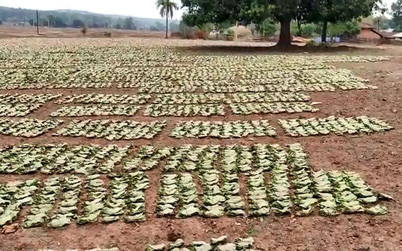कांकेर : तीन दिनों में 16 सौ मानक बोरा तेंदूपत्ता की खरीद हुई : वीरेंद्र यादव