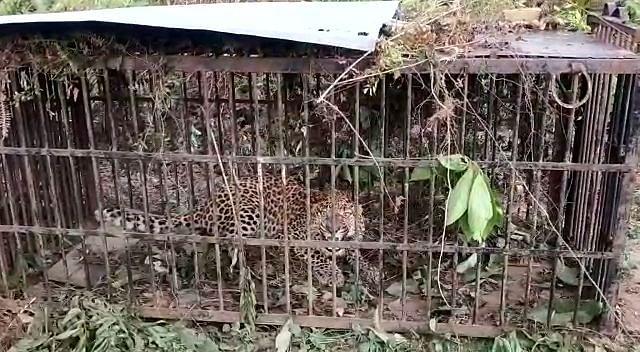 आतंक का पर्याय बने तेंदुआ को वन विभाग ने पकड़ा