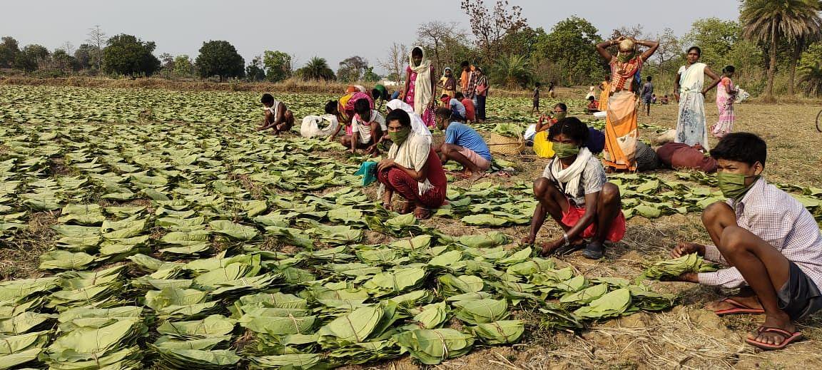 रायपुर:छत्तीसगढ़ में लक्ष्य से अब तक एक चौथाई से अधिक तेंदूपत्ता का  संग्रहण