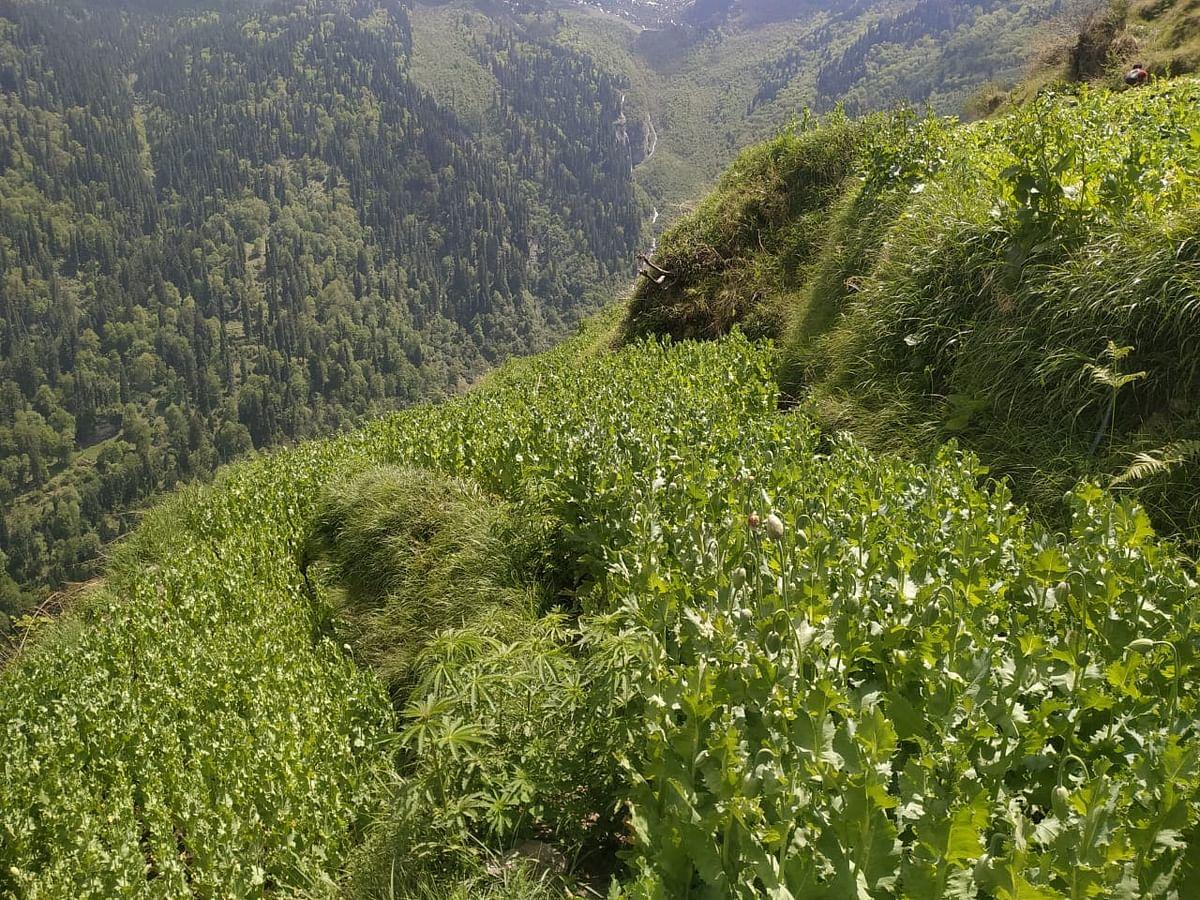 पुलिस ने नष्ट किए 1,51,151 अफीम के पौधे