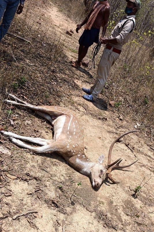 रायगढ़ : कुत्तों के हमले से चीतल की मौत