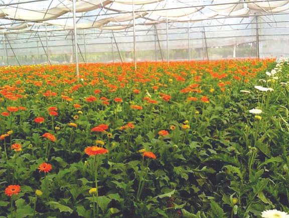 जरबेरा के फूलों की खेती से किसानों को हुआ नुकसान
