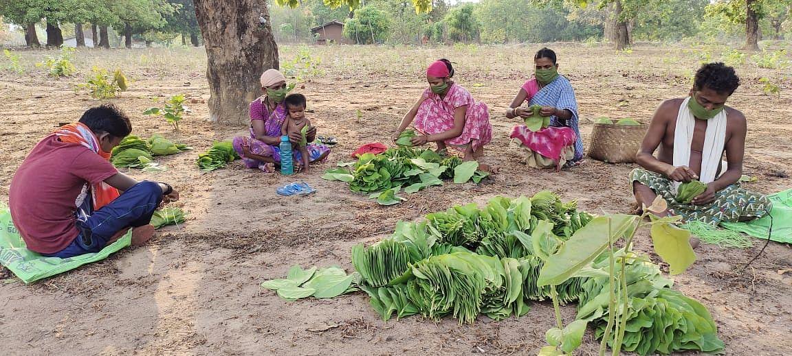 raipur-so-far-collection-of-1144-lakh-standard-bags-of-tendu-leaves-in-chhattisgarh