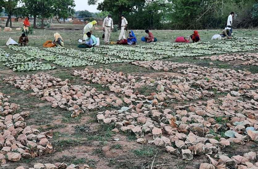 अनूपपुर जिले में 70 हजार तेंदुपत्ता संग्राहकों को मिल रहा रोजगार
