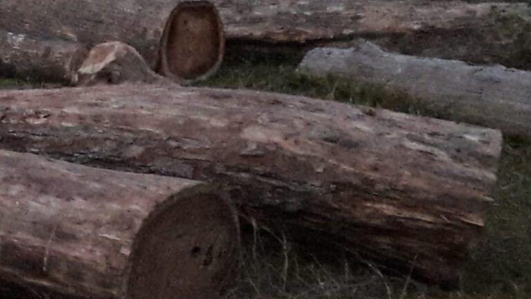 चार शीशम गुल्ली लकड़ी के साथ नेपाली अपराधी गिरफ्तार