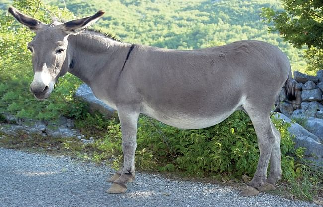 number-of-donkeys-is-increasing-rapidly-in-pakistan