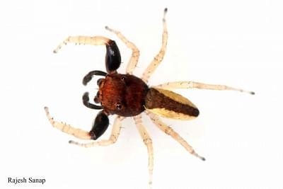 मकड़ी की नई प्रजाति का नाम कसाब को पकड़ने वाले शहीद के नाम पर पड़ा