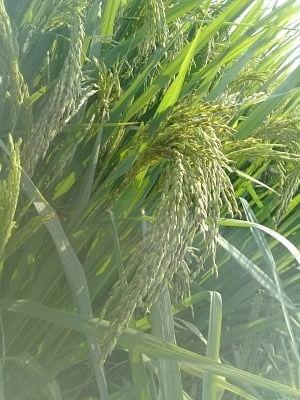 चक्रवात यास से भारतीय चावल उत्पादकों को मिली मदद