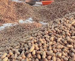 गुजरात : डीसा मंडी में मूंगफली की बंपर आमद, मूल्य में दो सौ रुपये की वृद्धि