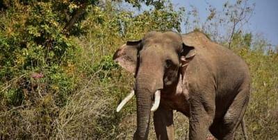 यूपी के अमानगढ़ रिजर्व में हाथी ने वन रक्षक पर किया हमला