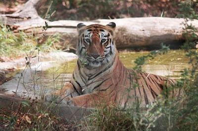 अमूर बाघ की चीन में अद्भुत वापसी