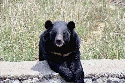 जम्मू-कश्मीर के गांदरबल में मवेशी का भालू ने किया शिकार