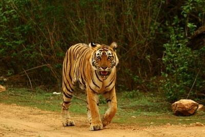 कर्नाटक वन विभाग ने आदमखोर बाघ को पकड़ने के लिए शुरू किया अभियान