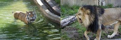 अमेरिका के चिड़ियाघर में शेर, बाघों में कोरोना के लक्षण