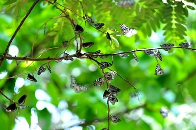 मप्र के रातापानी अभ्यारण्य में तितलियों की 103 प्रजातियां