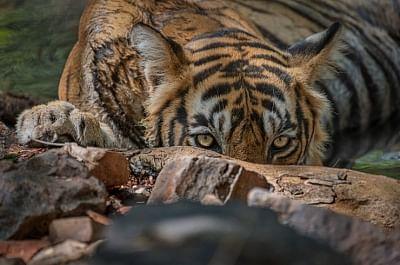 तमिलनाडु में हत्यारे बाघ की खोज में जुटी वन विभाग की टीम