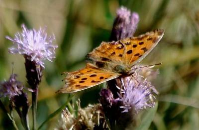 शरद ऋतु में उड़ती तितलियां अच्छे पारिस्थितक तंत्र का संकेत