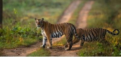 आखिरकार, कैमरे पर दिखा बाघ, तमिलनाडु के वन विभाग ने तलाशी अभियान किया तेज