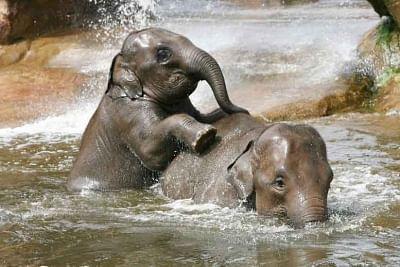 हाथी इतना स्मार्ट क्यों है?