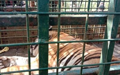 22 दिनों के बाद पकड़ा गया आदमखोर बाघ