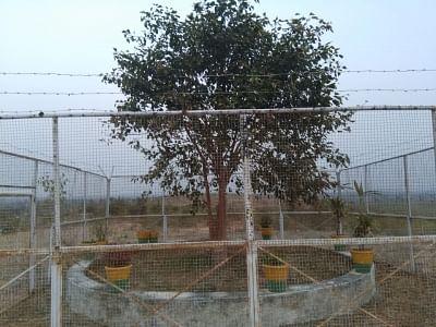एक पेड़ की सुरक्षा में तैनात रहते हैं गार्ड