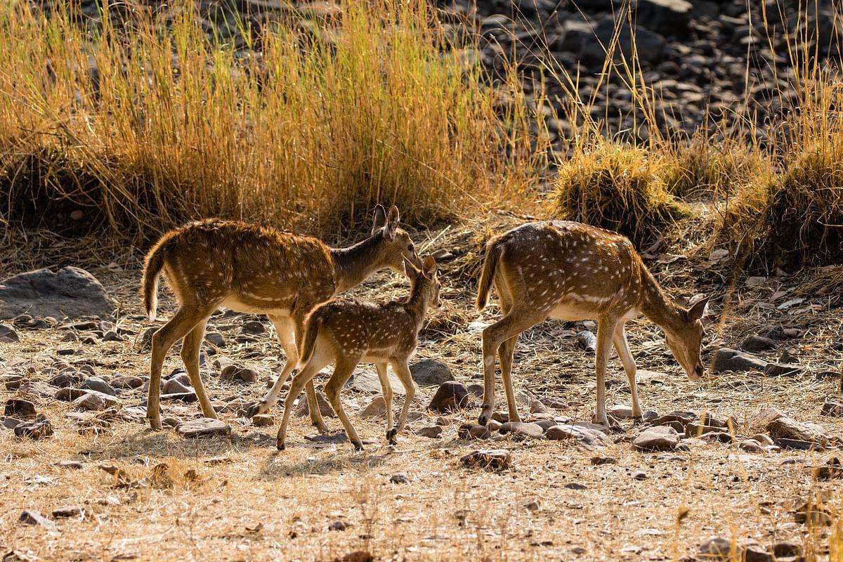रणथम्भौर राष्ट्रीय उद्यान के बारे में जानकारी - Ranthambore National Park in Hindi