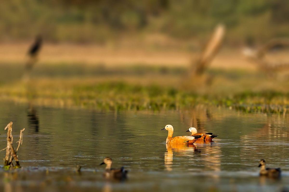 समसपुर पक्षी अभयारण्य के बारे में जानकारी - Samaspur Bird Sanctuary in Hindi