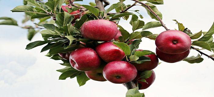 सेब खाने के फायदे, सरल तरीकों से जानें