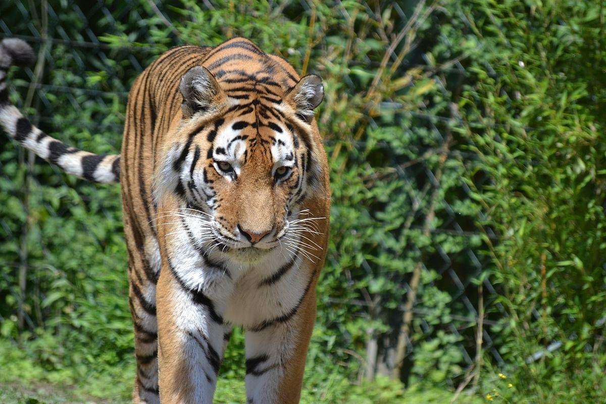 टाइगर सफारी अभ्यारण के बारे में जानकारी - Tiger Safari Zoo in Hindi