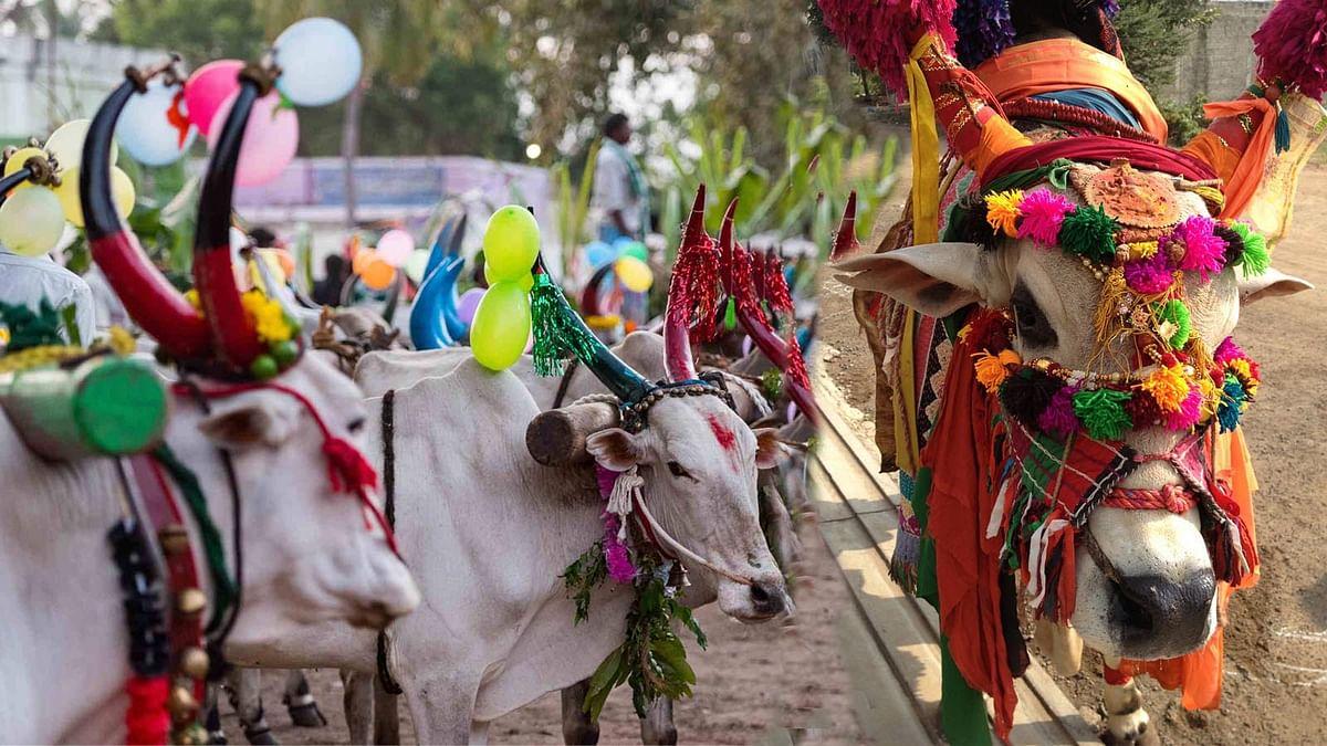 इलाहाबाद HC ने मामले की सुनवाई कर कही गाय को राष्ट्रीय पशु घोषित करने की बात
