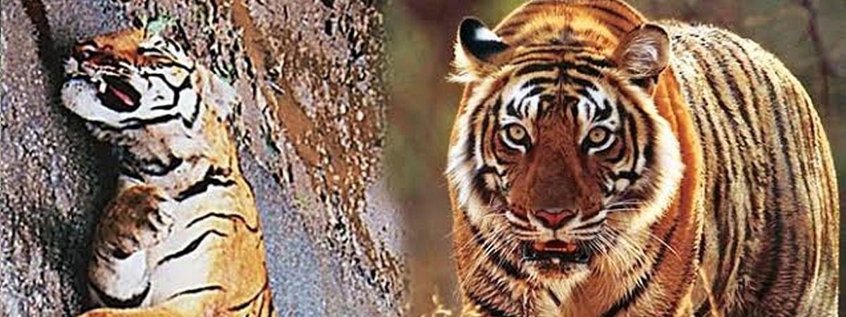 बाघ शावक की मौत