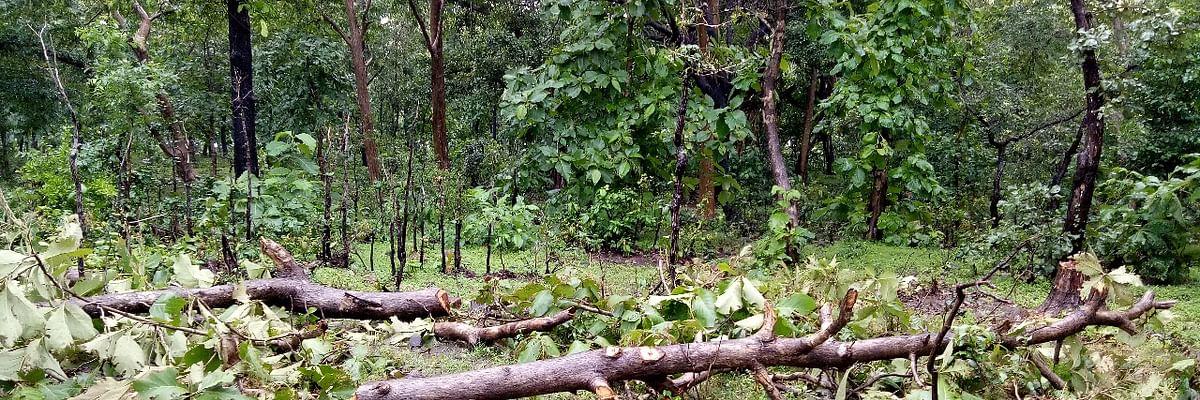नहीं थम रही हरे-भरे सागौन के वृक्षों की अवैध कटाई