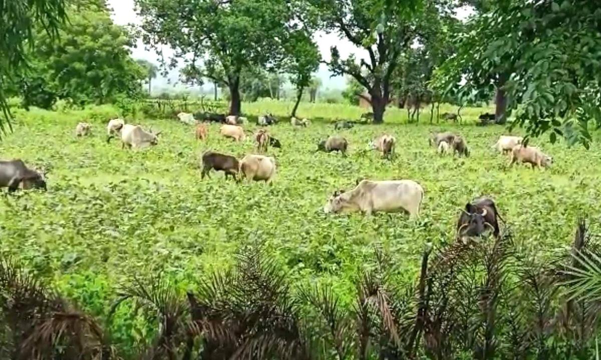 छतरपुर: उड़द की फसल खराब होने से किसान जानवरों को खिलाने पर मजबूर