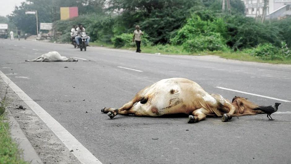 आये दिन हो रही हैं दुर्घटनाएं, मर रही हैं गायें