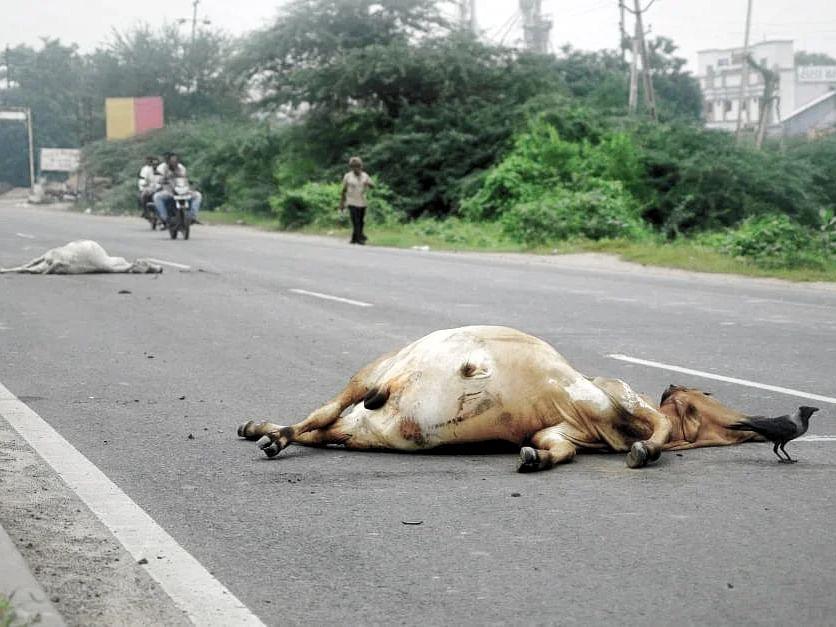 शिवपुरी: आये दिन हो रही हैं दुर्घटनाएं, मर रही हैं गायें