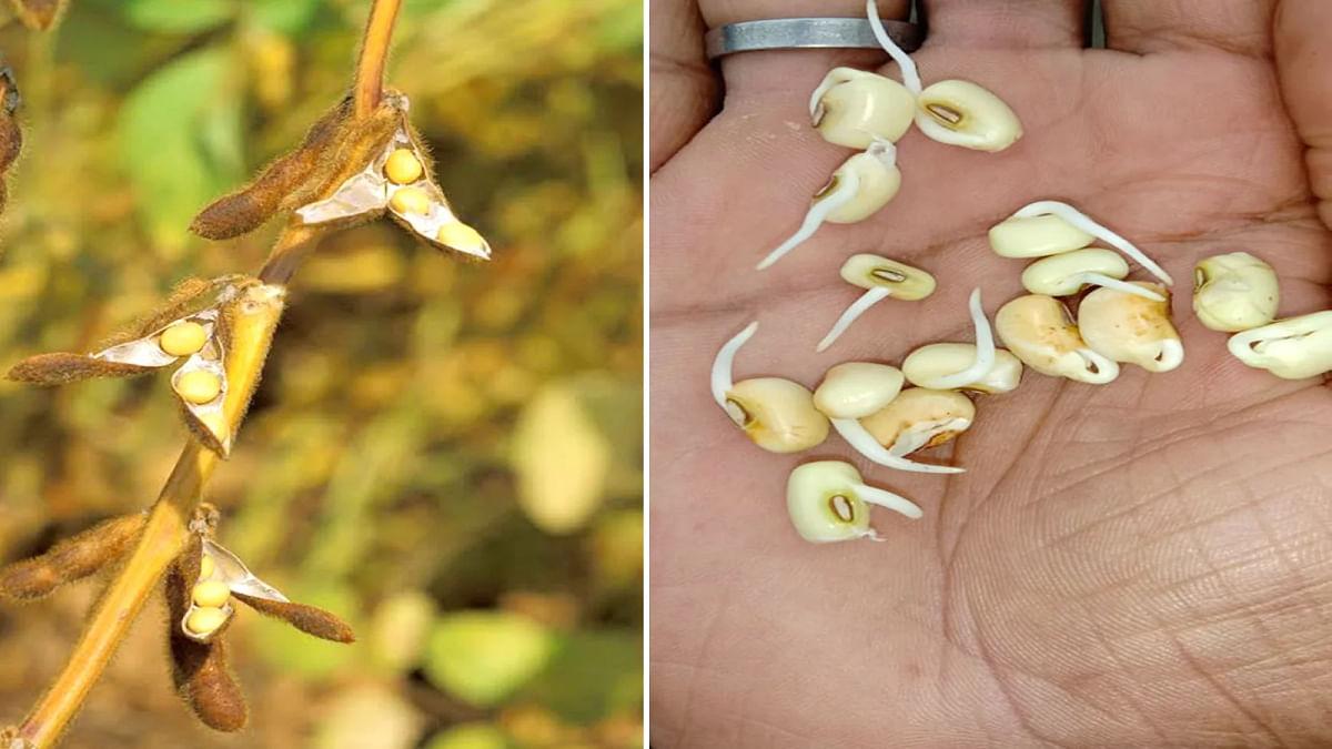 किसानों की नई आफत, बारिश से सोयाबीन में पुनः अंकुरण होने का खतरा