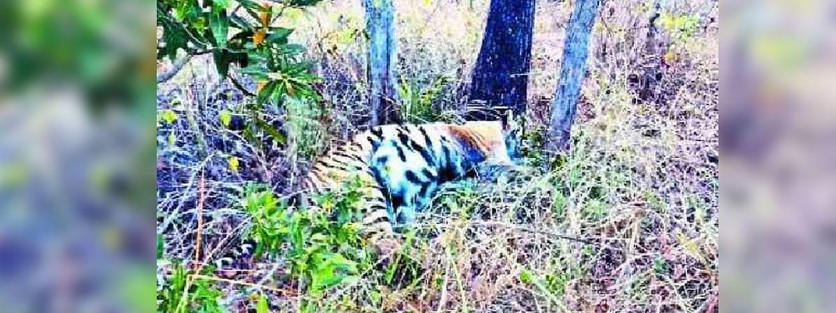 मध्य प्रदेश में बाघिन टी-20 की मौत
