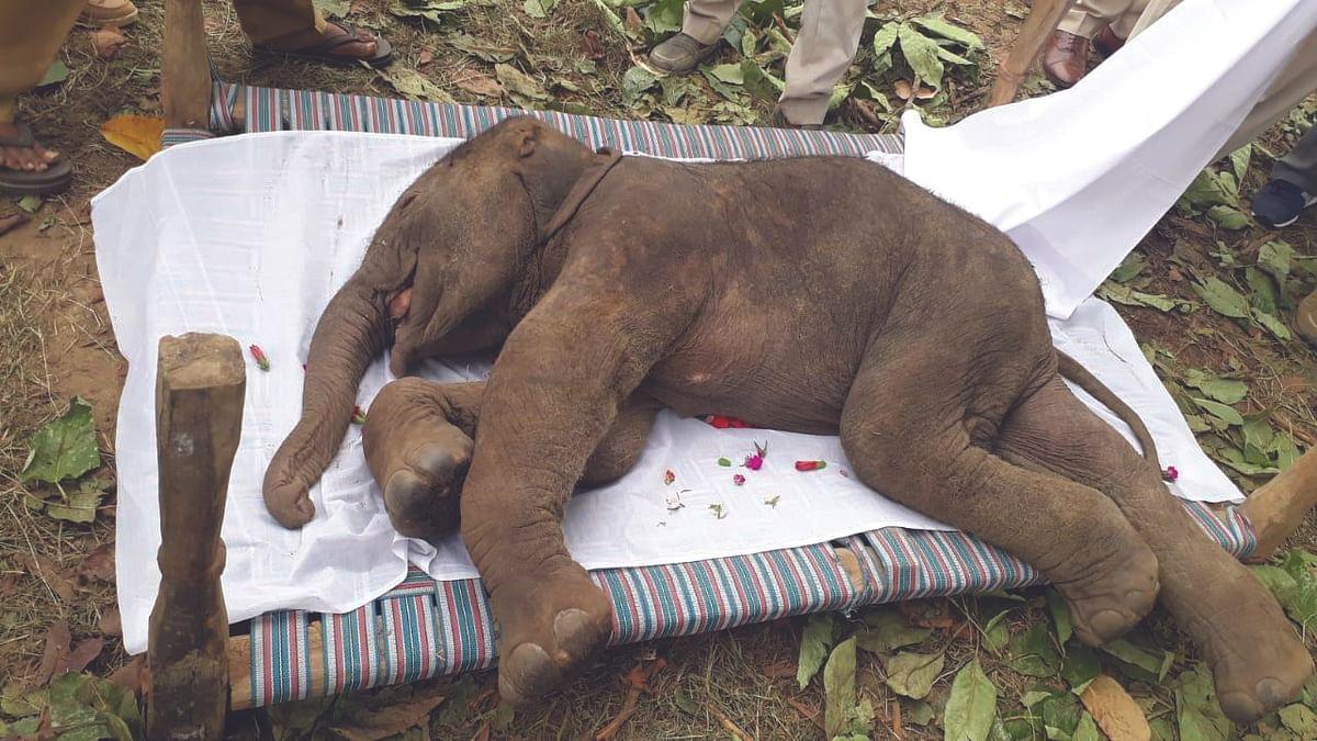 शहडोल: हाथी के बच्चे की प्रसव के दौरान मौत
