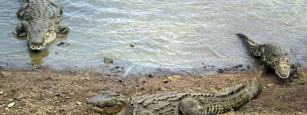शहर के तालाबों में तेजी से बढ़ रही है मगरमच्छों की संख्या