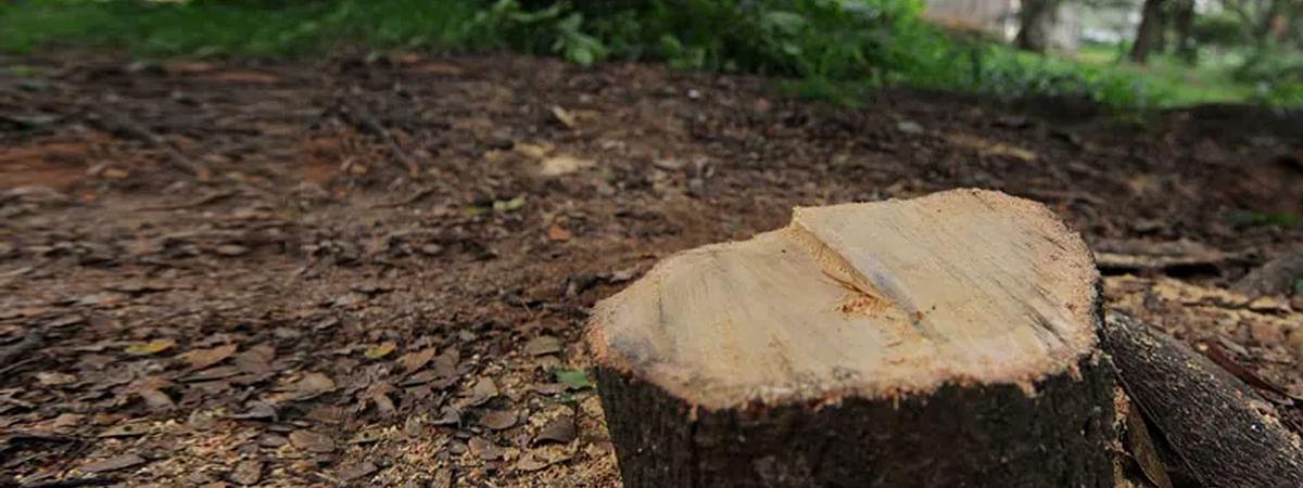 बन्दूक की नोक पर न्यायाधीश के घर से काटे चन्दन के पेड़
