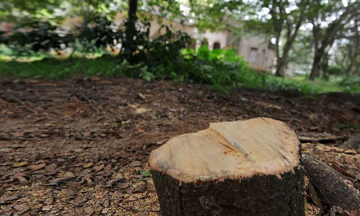 रीवा: बन्दूक की नोक पर न्यायाधीश के घर से काटे चन्दन के पेड़