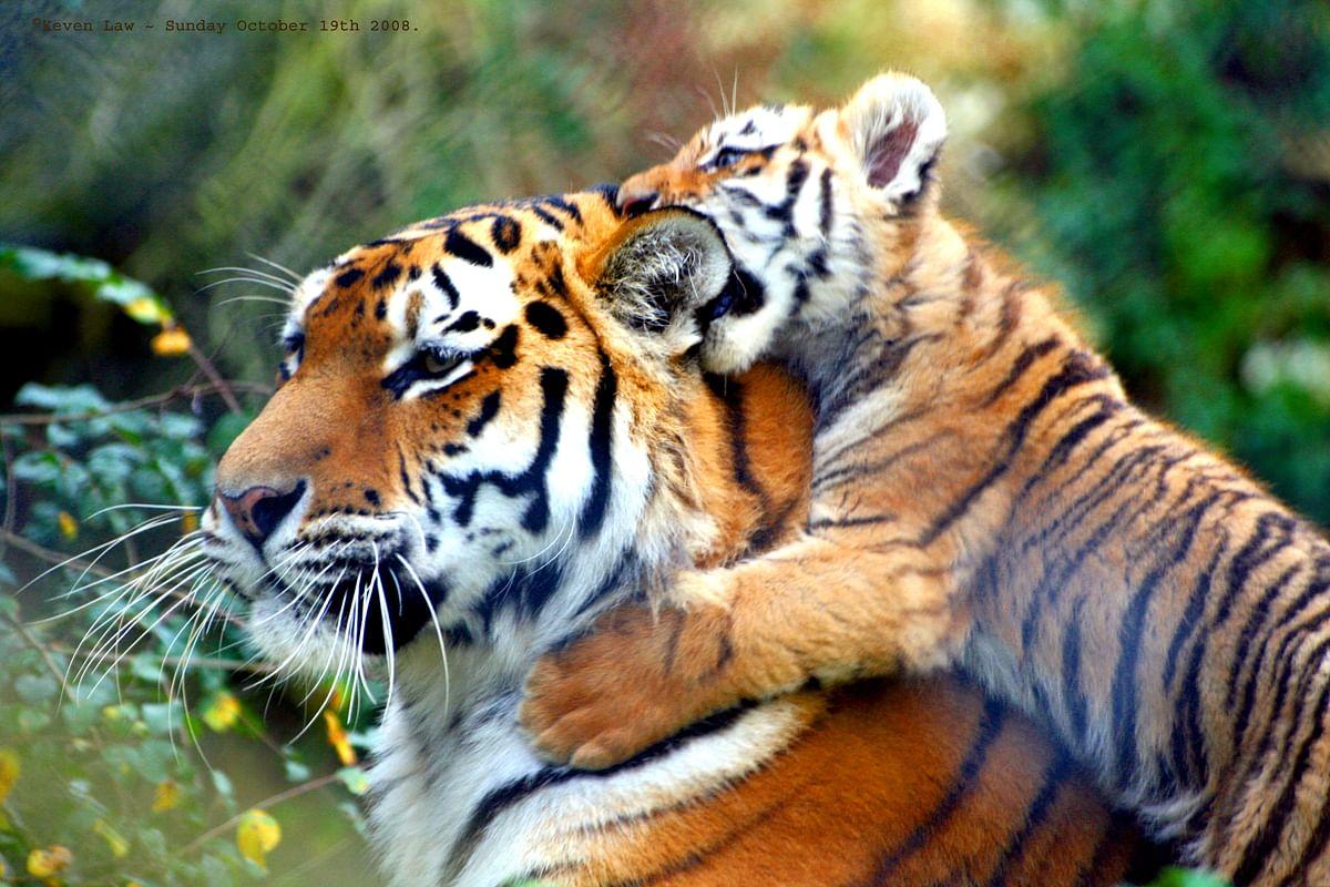 एक दशक की मेहनत रंग लायी, बाघों का कुनबा पहुँचा अर्धशतक पार